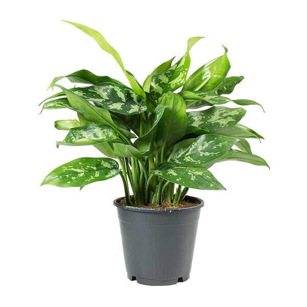 Indoor Plants Al Madarat Shop المدارات شوب